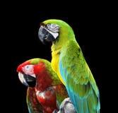 Dos loros coloridos del macaw Fotos de archivo libres de regalías