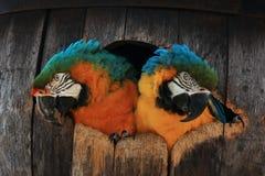 Dos loros del macaw en un barril Foto de archivo libre de regalías