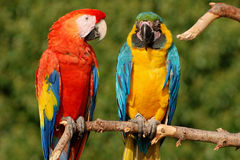 Dos loros del macaw en una ramificación Fotos de archivo libres de regalías