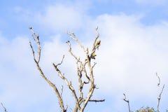 Dos loros en un árbol muerto Foto de archivo libre de regalías