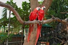 Dos loros rojos con las tejas largas que se sientan en una rama de un árbol Imagen de archivo