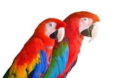 Dos loros rojos en los pájaros tropicales del bosque aislados en el fondo blanco imagen de archivo