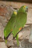 Dos loros verdes hermosos Fotografía de archivo libre de regalías
