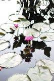 Dos Lotus Flowers Growing rosada en el medio de una charca en el jardín rodeado por Lily Pads imágenes de archivo libres de regalías
