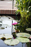 Dos Lotus Flowers Growing rosada en el medio de una charca en el jardín rodeado por Lily Pads Fotografía de archivo
