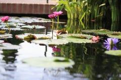 Dos Lotus Flowers Growing rosada en el medio de una charca en el jardín rodeado por Lily Pads imagenes de archivo