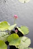 Dos Lotus Flowers Growing rosada en el medio de una charca en el jardín rodeado por Lily Pads fotos de archivo libres de regalías