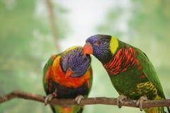 Dos lovebirds del lorikeet Foto de archivo libre de regalías