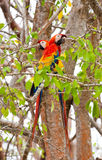 Dos macaws foto de archivo libre de regalías