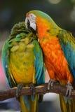 Dos Macaws coloridos Imagenes de archivo