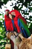 Dos Macaws del escarlata Imagen de archivo