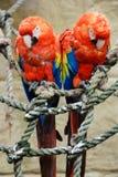 Dos macaws del escarlata encaramados en cuerda Fotografía de archivo libre de regalías