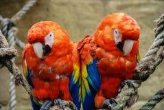 Dos macaws del escarlata encaramados en cuerda Fotos de archivo libres de regalías