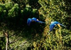 Dos macaws que vuelan con un fondo verde del bosque imagen de archivo