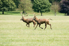 Dos machos de los ciervos comunes que corren a través de un campo Imágenes de archivo libres de regalías