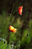 dos malas hierbas rojas Fotografía de archivo