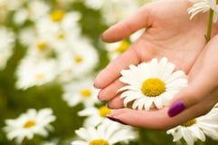 Dos manos de las mujeres que sostienen una flor de la margarita Imágenes de archivo libres de regalías