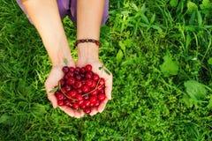 Dos manos de mujer con las cerezas maduras en el fondo verde Imagen de archivo
