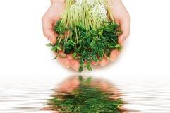 Dos manos que sostienen las hierbas Foto de archivo libre de regalías