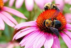 Dos manosean abejas difícilmente en el trabajo que cosecha el polen de una flor grande del Echinacea Fotos de archivo libres de regalías