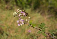 Dos manosean abejas en una flor de Blackberry Fotos de archivo libres de regalías