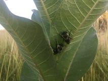 Dos manosean abejas en una planta del milkweed Fotografía de archivo