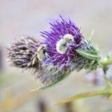 Dos manosean las abejas que chupan el néctar Imagenes de archivo