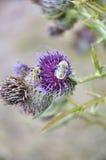 Dos manosean las abejas que chupan el néctar Fotografía de archivo libre de regalías