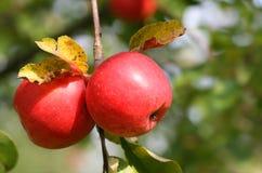 Dos manzanas Imágenes de archivo libres de regalías