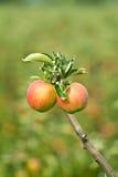 Dos manzanas completamente producidas en una huerta Imágenes de archivo libres de regalías