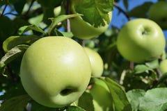 Dos manzanas maduras verdes en una rama de árbol imagen de archivo