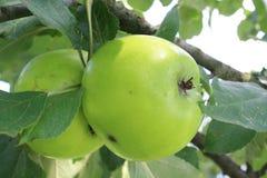 Dos manzanas verdes Imágenes de archivo libres de regalías