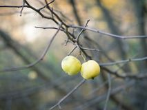 Dos manzanas verdes en las ramas sin las hojas en otoño parquean Foto de archivo libre de regalías