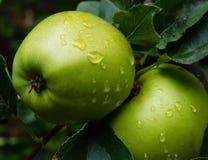 Dos manzanas verdes en un árbol Foto de archivo libre de regalías