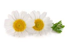 Dos manzanilla o margaritas con las hojas aisladas en el fondo blanco Imagenes de archivo