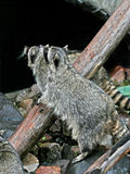 Dos mapaches. Imágenes de archivo libres de regalías