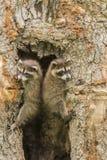 Dos mapaches del bebé en un árbol Imagen de archivo