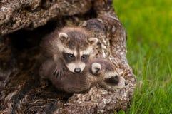 Dos mapaches del bebé (lotor del Procyon) se arrastran sobre uno a Imagen de archivo
