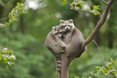 Dos mapaches en bosque Imagen de archivo libre de regalías