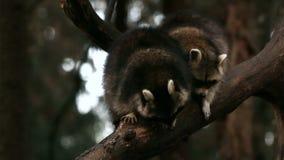 Dos mapaches que juegan y se toman el pelo en un árbol en primer de la naturaleza metrajes