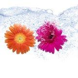 Dos margaritas coloreadas Imagen de archivo libre de regalías