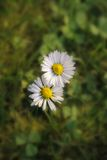 Dos margaritas que crecen en la hierba Foto de archivo libre de regalías