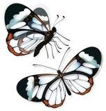 Dos mariposas con las alas transparentes ilustración del vector