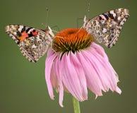 Dos mariposas en Coneflower fotografía de archivo