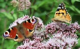Dos mariposas en la flor Fotografía de archivo