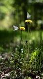 Dos mariposas en los dientes de león Fotografía de archivo libre de regalías