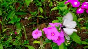 Dos mariposas negro-vetearon el crataeg blanco del aporia que se acoplaba en las flores rojas en parque Juegos matrimoniales e in almacen de metraje de vídeo