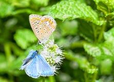 Dos mariposas que alimentan en una flor de la menta Fotos de archivo libres de regalías