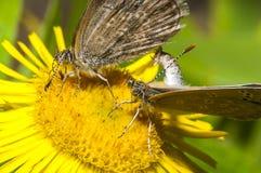 Dos mariposas que se acoplan en las flores Imagen de archivo libre de regalías