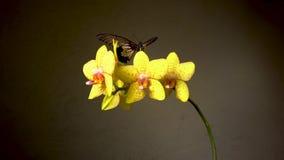 Dos mariposas tropicales en una flor almacen de video
